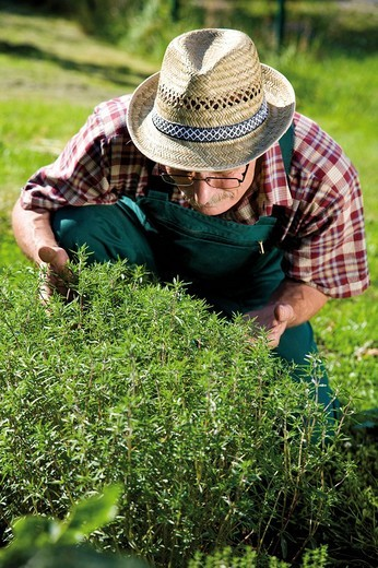 Gardener in front of his fragrant savory patch : Stock Photo