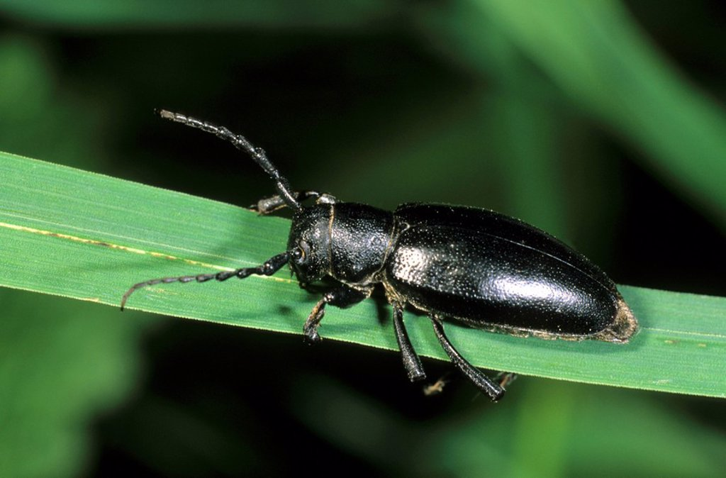 Stock Photo: 1848R-298796 Dorcadion fuliginator flightless beetle, black variant, Tokai mountain, Hungary, Europe