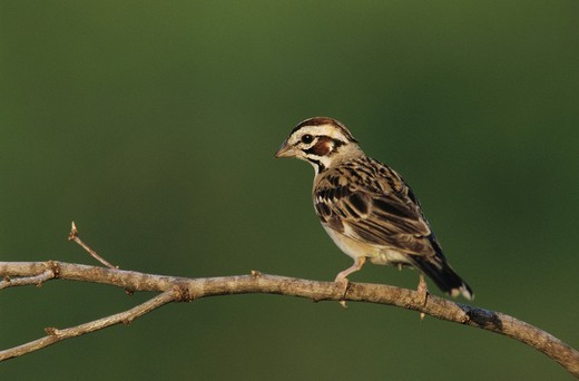Stock Photo: 1848R-299072 Lark Sparrow Chondestes grammacus, adult, Willacy County, Rio Grande Valley, South Texas, USA