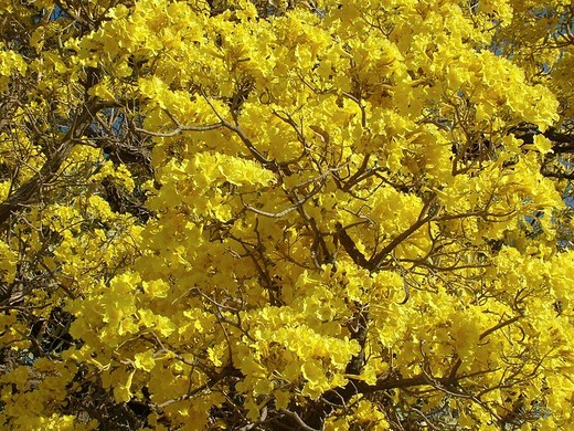 Close-up of the unbelievable mass of the yellow flowers of the Trumpet tree Tabebuia caraiba, Gran Chaco, Paraguay : Stock Photo