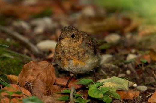 Stock Photo: 1848R-299185 Junges Rotkehlchen Erithacus rubecula on forest ground