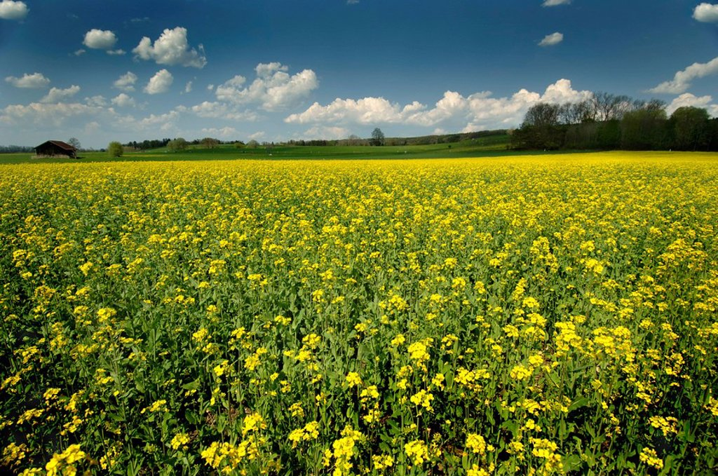 Stock Photo: 1848R-299422 Rape canola fields in Bavaria Germany