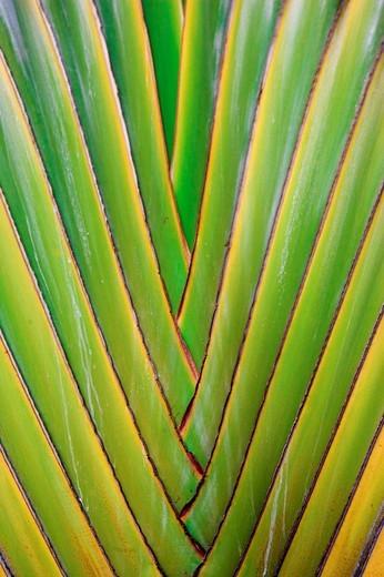 Fan-shaped palmtree : Stock Photo