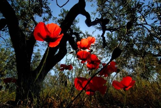 Poppies Papaver near Vinci, Tuscany, Italy, Europe : Stock Photo