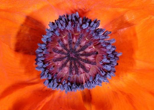 Corn poppy Papaver rhoeas : Stock Photo