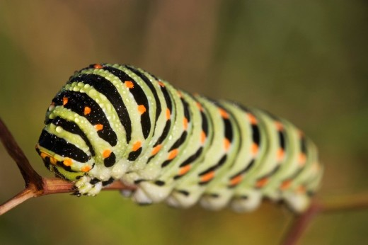 Stock Photo: 1848R-301647 Old World - or Yellow Swallowtail Papilio machaon caterpillar, Donauauen, Ingolstadt, Bavaria, Germany, Europe