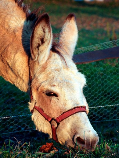 Stock Photo: 1848R-301867 Donkey stretches his head over the fence to eat some grass