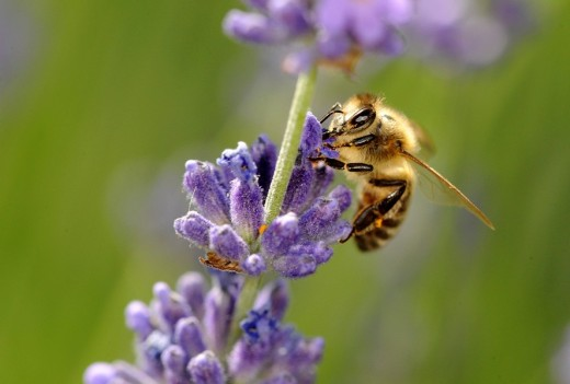 European Honey Bee or Western Honey Bee Apis mellifera looking for food on True or English lavender Lavandula angustifolia : Stock Photo