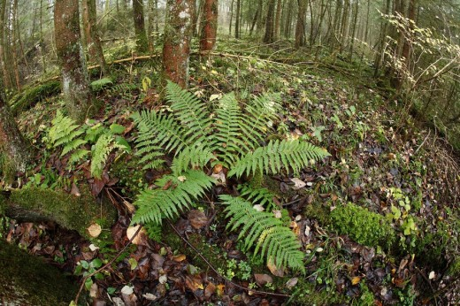 Stock Photo: 1848R-302968 Woodferns Dryopteris sp, fern in the Auwald Forest, Isar wetlands, Upper Bavaria, Germany, Europe
