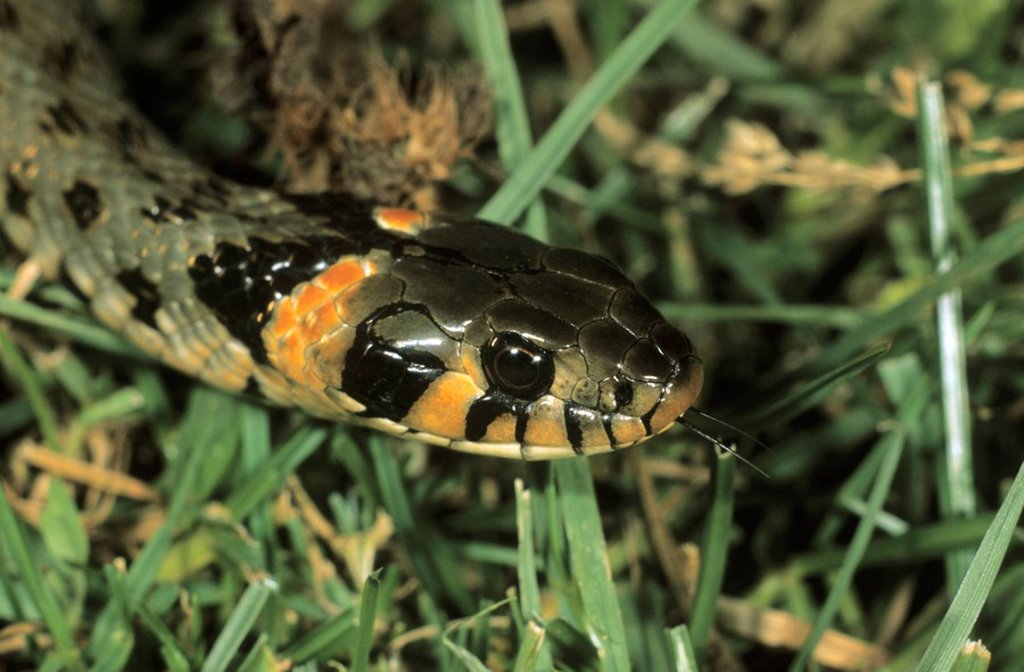 Stock Photo: 1848R-303053 Grass Snake, Natrix natrix eastern variety with orange head spots, Hortobagy, Puszta, Hungary