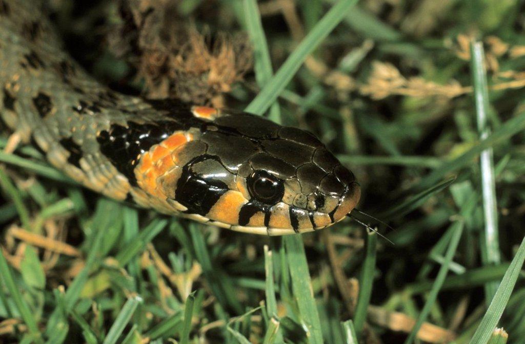 Grass Snake, Natrix natrix eastern variety with orange head spots, Hortobagy, Puszta, Hungary : Stock Photo