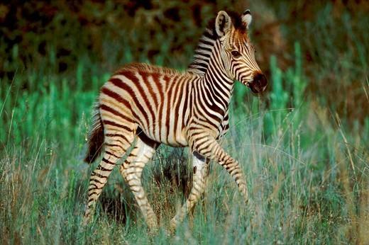 Stock Photo: 1848R-304076 Burchell´s Zebra, foal, Pilanesberg Park, South Africa / Equus quagga burchelli
