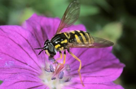 Stock Photo: 1848R-304219 Hoverfly Chrysotoxum intermedium feeding on pollen from a Bloody Cranesbill
