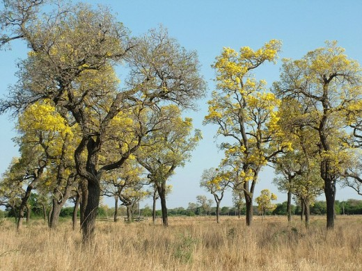 Stock Photo: 1848R-304242 Trumpet trees Tabebuia caraiba with yellow flowers on dry grass suggest the ending of the dry time, Gran Chaco, Paraguay