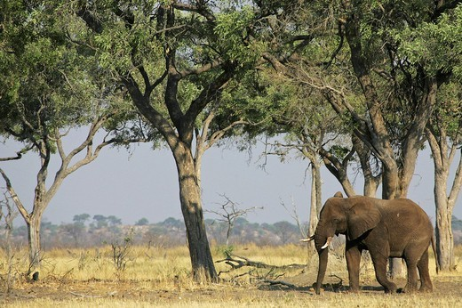 African elephant Loxodonta africana Savuti, Chobe National Park, Botswana, Africa : Stock Photo