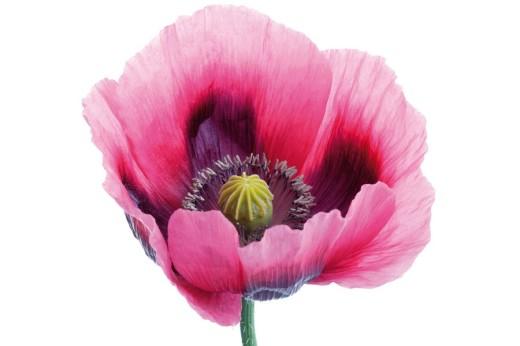Opium Poppy Papaver somniferum : Stock Photo