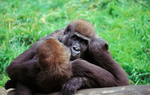 Stock Photo: 1848R-305395 Lowland gorilla