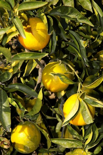 Stock Photo: 1848R-305488 Oranges still on the tree, Altea, Costa Blanca, Spain, Speciality, food, nationaltypically
