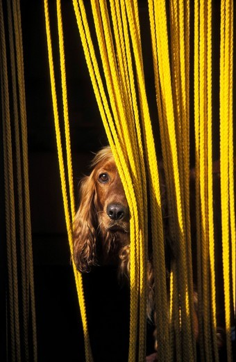 Stock Photo: 1848R-305732 Dog looking through yellow curtain