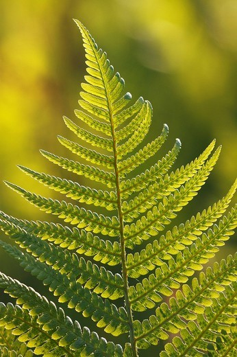 Common Male Fern Dryopteris filix_mas, backlit leaf in evening light : Stock Photo