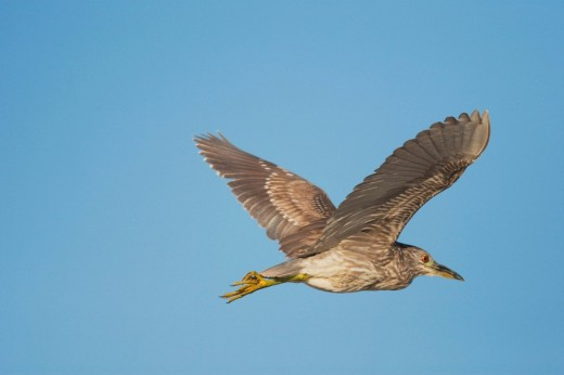 Stock Photo: 1848R-306277 Black_crowned Night_Heron Nycticorax nycticorax, young in flight, Sinton, Corpus Christi, Coastal Bend, Texas, USA