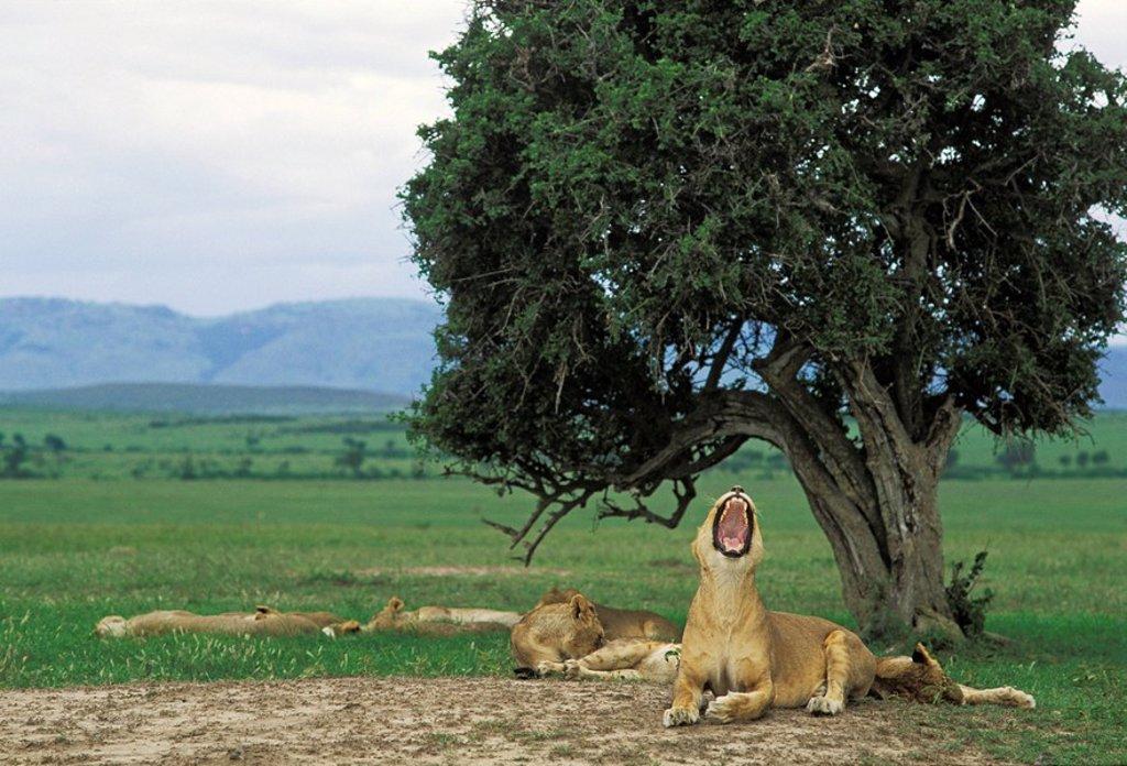 Yawning lioness Panthera leo - Masai Mara - Kenya : Stock Photo