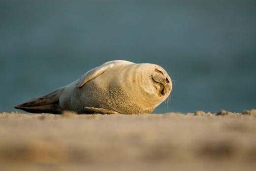 Stock Photo: 1848R-306778 Atlantic Grey Seal Halichoerus grypus pup rolling around on the beach at Helgoland Island, North Sea, Lower Saxony, Germany, Europe