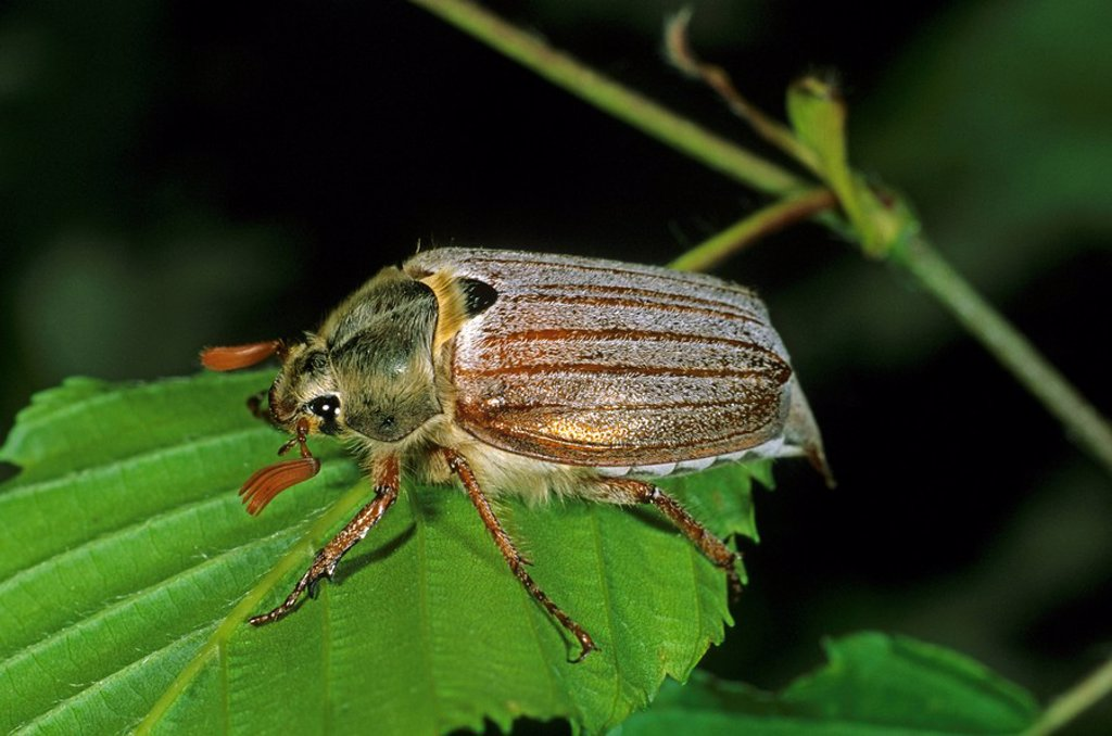 Stock Photo: 1848R-306882 Cockchafer or May Bug Melolontha melolontha