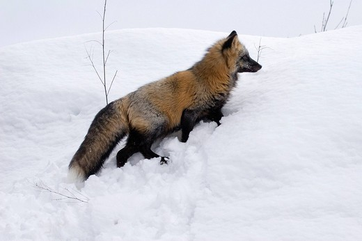 Stock Photo: 1848R-306917 Crossfox in the snow