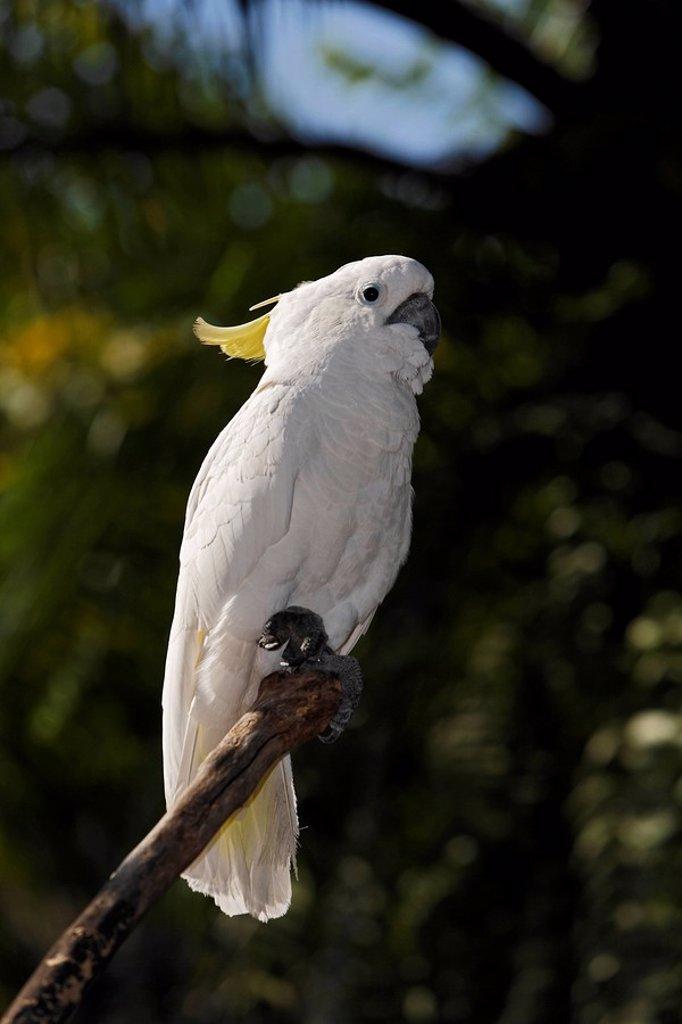 Sulphur-crested cockatoo Cacatua galerita : Stock Photo