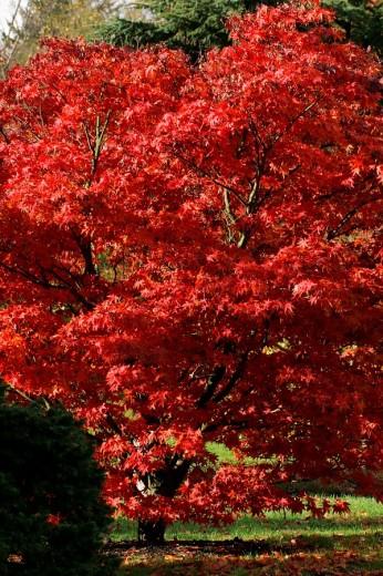Stock Photo: 1848R-308759 Japanese maple cultivar Ozakazuki - leaves in red autumn colours - colourful foliage Acer palmatum cultivar Ozakazuki