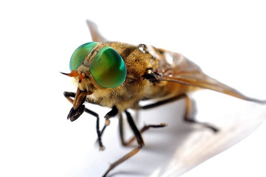 Closeup of a Horse fly Haematopota pluvialis : Stock Photo
