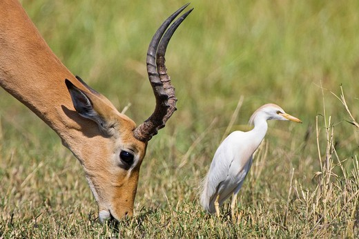 Stock Photo: 1848R-309044 Impala Aepyceros melampus buck and a Cattle Egret Bubulcus ibis, Moremi National Park, Okavango Delta, Botswana, Africa