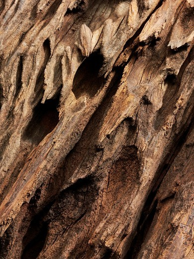 Weathered hardwood from the African steppe : Stock Photo
