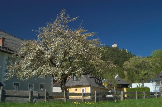 Flowering fruit tree and old houses in the background the castle ruin of Gutenstein Piesting valley Lower Austria : Stock Photo