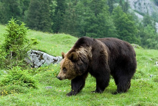 Brown Bear Ursus arctos, Eng-alm alpine pasture, Karwendel Range, Tyrol, Austria : Stock Photo
