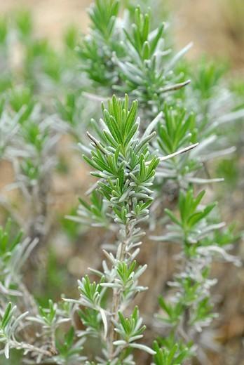 Lavender lavandula angustifolia1 : Stock Photo
