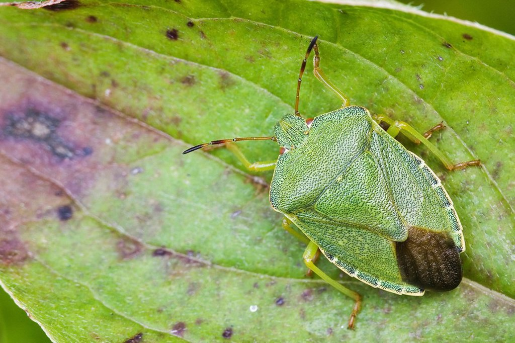 Green Shield Bug or Stink Bug Palomena prasina : Stock Photo