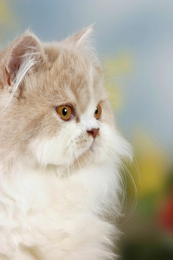 Stock Photo: 1848R-311234 Persian Cat, cream-white-Harlequin
