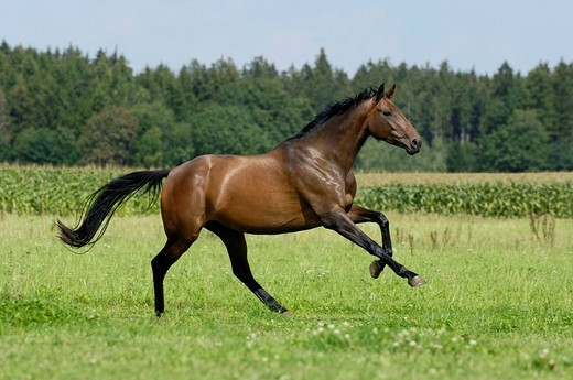 Stock Photo: 1848R-311259 Thoroughbred horse galloping in the paddock