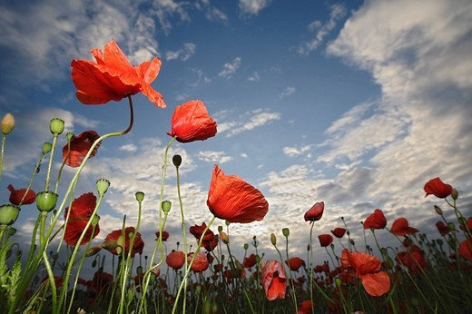 Corn or Field Poppy Papaver rhoeas, sky, clouds, meadow, field : Stock Photo