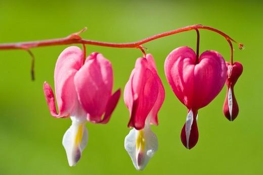 Stock Photo: 1848R-311326 Bleeding Heart Lamprocapnos spectabilis