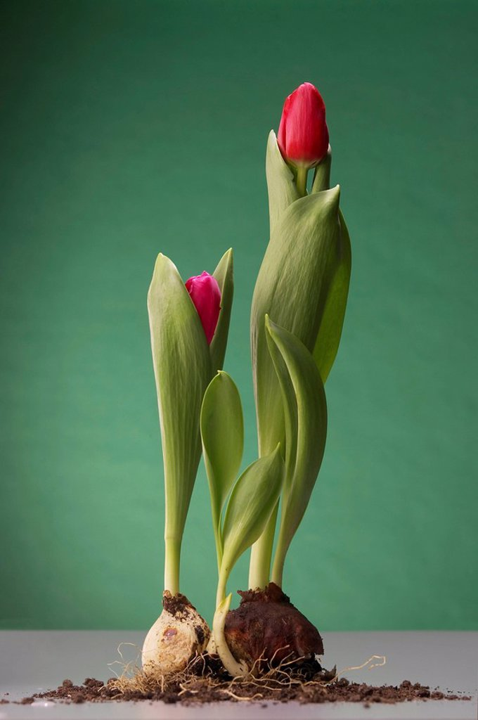 Tulips with bulb and soil : Stock Photo