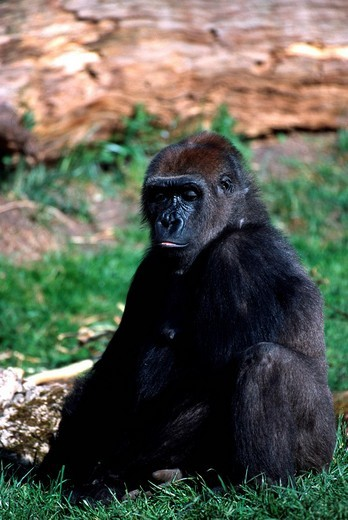 Lowland gorilla : Stock Photo