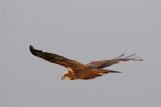 Female Western Marsh Harrier Circus aeruginosus in flight : Stock Photo