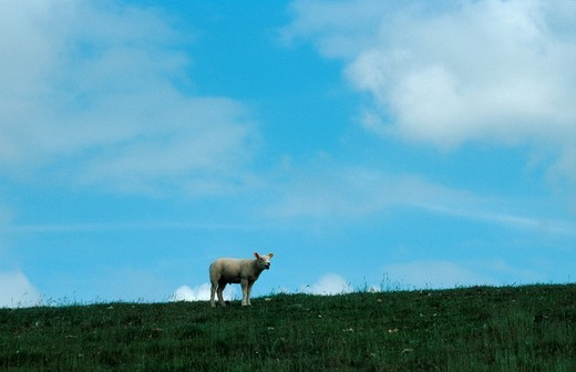 Stock Photo: 1848R-312678 Sheep