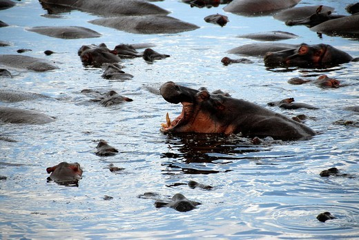 Hippo Hippopotamus amphibius with open muzzle in the water Hippo Pool Serengeti National Park Tanzania : Stock Photo