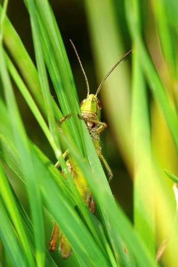 Grasshopper of Acrididae family : Stock Photo