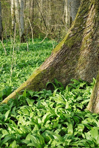 Wild Garlic or Bear´s Garlic Allium ursinum growing between the roots of a maple tree, Kaltenaue near Bad Feilnbach, Bavaria, Germany : Stock Photo