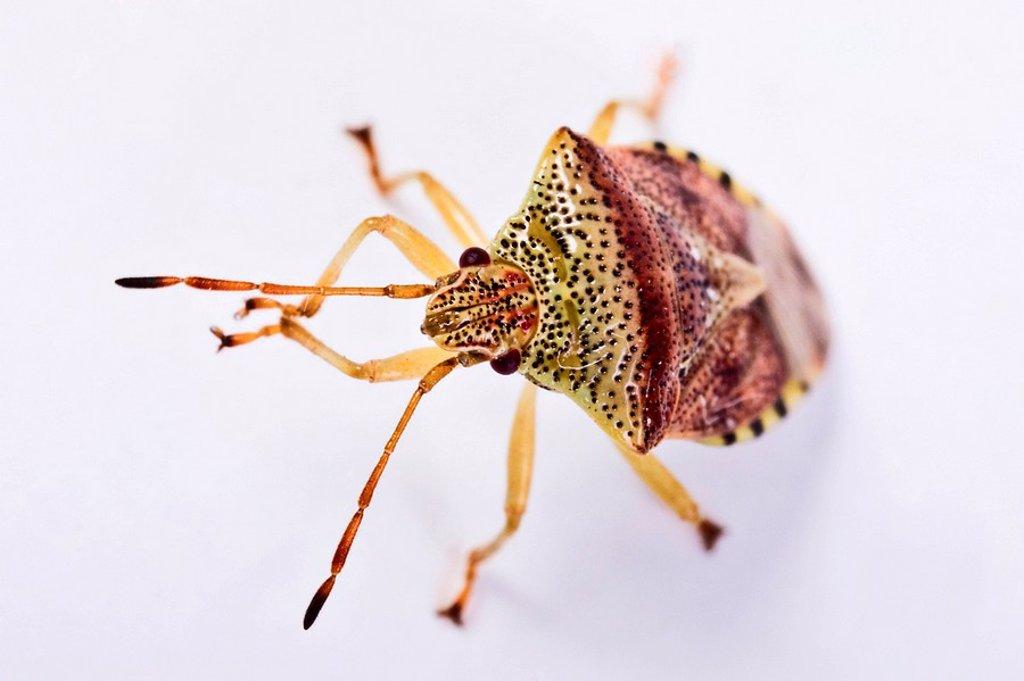 Parent Bug Elasmucha grisea : Stock Photo